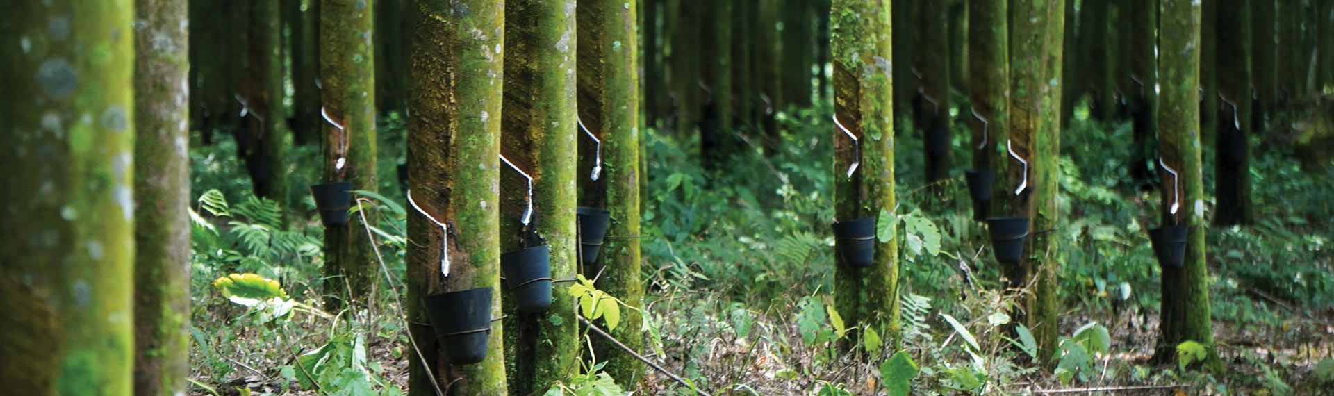 Image of trees collecting natural resources needed for rubber.